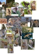 #Reference-Rhesus Macaquel
