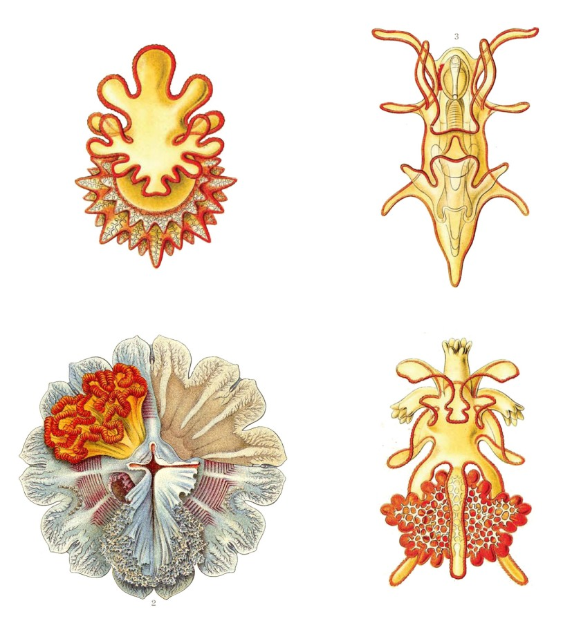 haeckel4_colour1